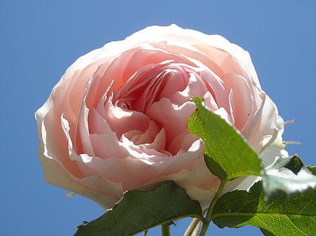 Rose ancienne de Charance - Gap
