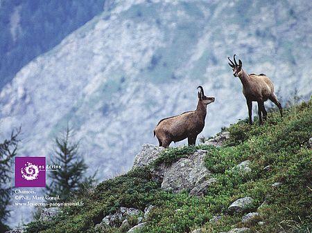Chamois - Parc National des Ecrins