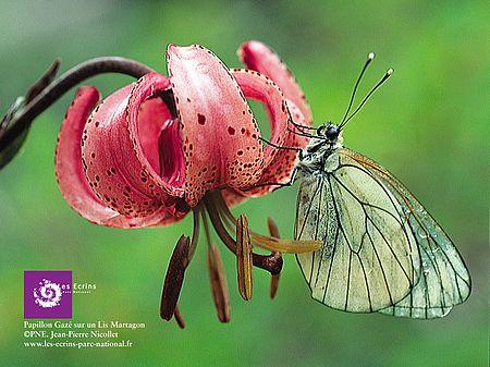 Papillon gazé sur lys martagon